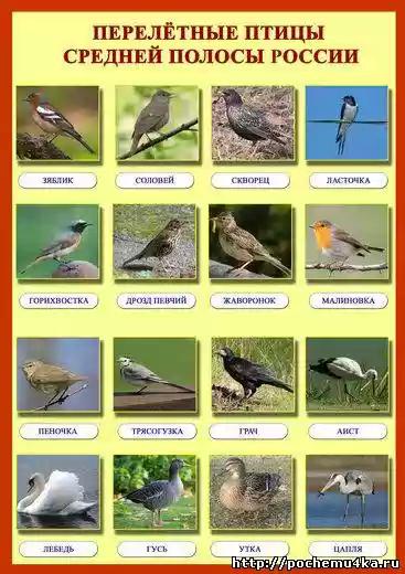 фото перелетных птиц с названиями для детей