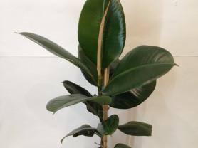 Фикус зеленый саженец