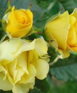Rosa (Роза) Baby Gold  миниатюрная