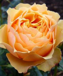 Rosa Henrietta чайно-гибридная