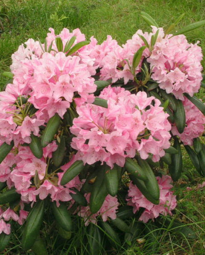 Rhododendron Helsinki University 2л