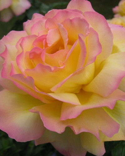 Роза чайно-гибридная Gloria Dei 1 шт.