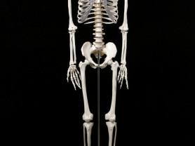 Скелет 1м 70 см (анатомический) - Новый