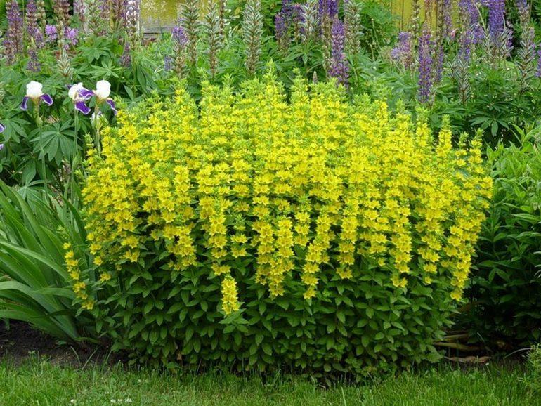 Почвопокровные многолетние растения цветущие все лето