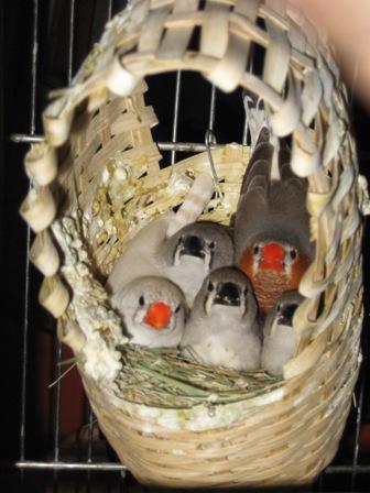 Гнезда своими руками для амадинов