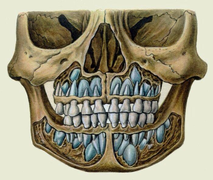 череп ребёнка с молочными зубами фото