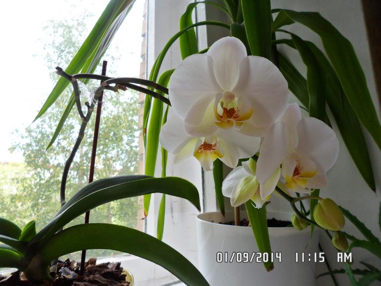 Как сделать что цвели орхидеи 158