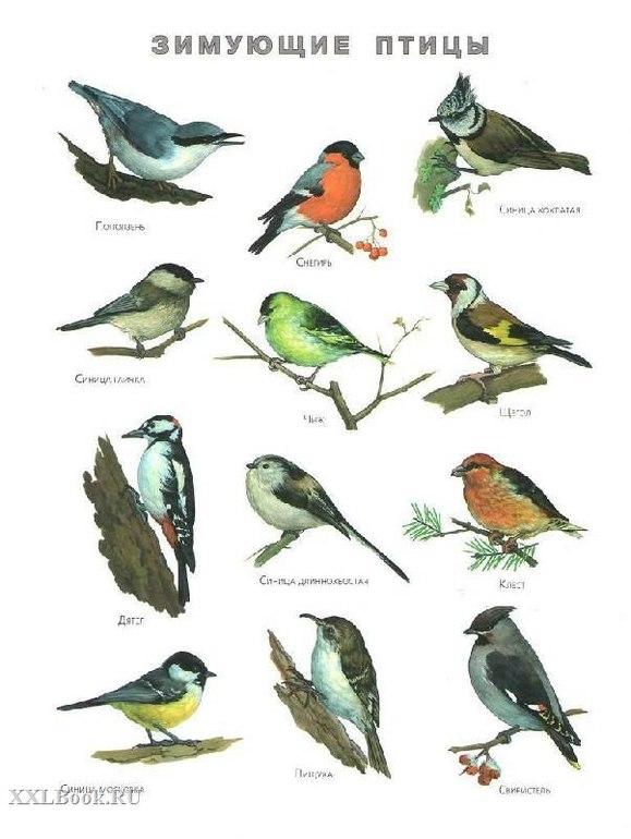 Зимующие птицы. Подборка фото и видео