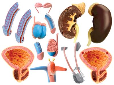 Анатомич. модель мужской репродуктивной системы