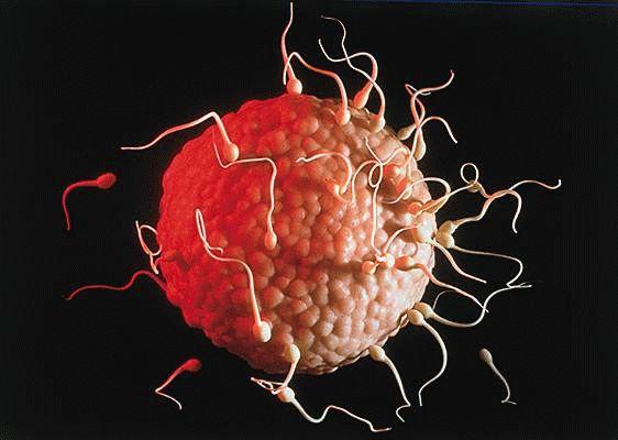Когда сперматозоиды готовы к овуляции