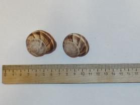 Морская раковина, ракушка  Хеликс Helix pomatia