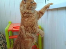 Вязка с котом чемпионом породы Мейн-кун