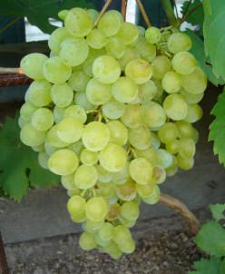 Виноград саженец до 10см подрощенный
