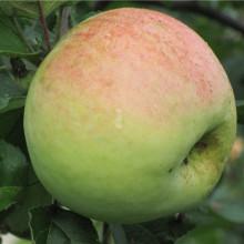 Яблоня домашняя Антоновка Десертная