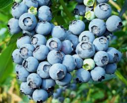 Vaccinium cor. Bluecrop/голубика высокорослая