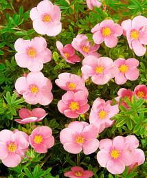 Курильский чай Прекрасный розовый от 4 см
