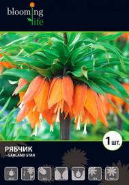 Рябчик Гарланд Стар (10)