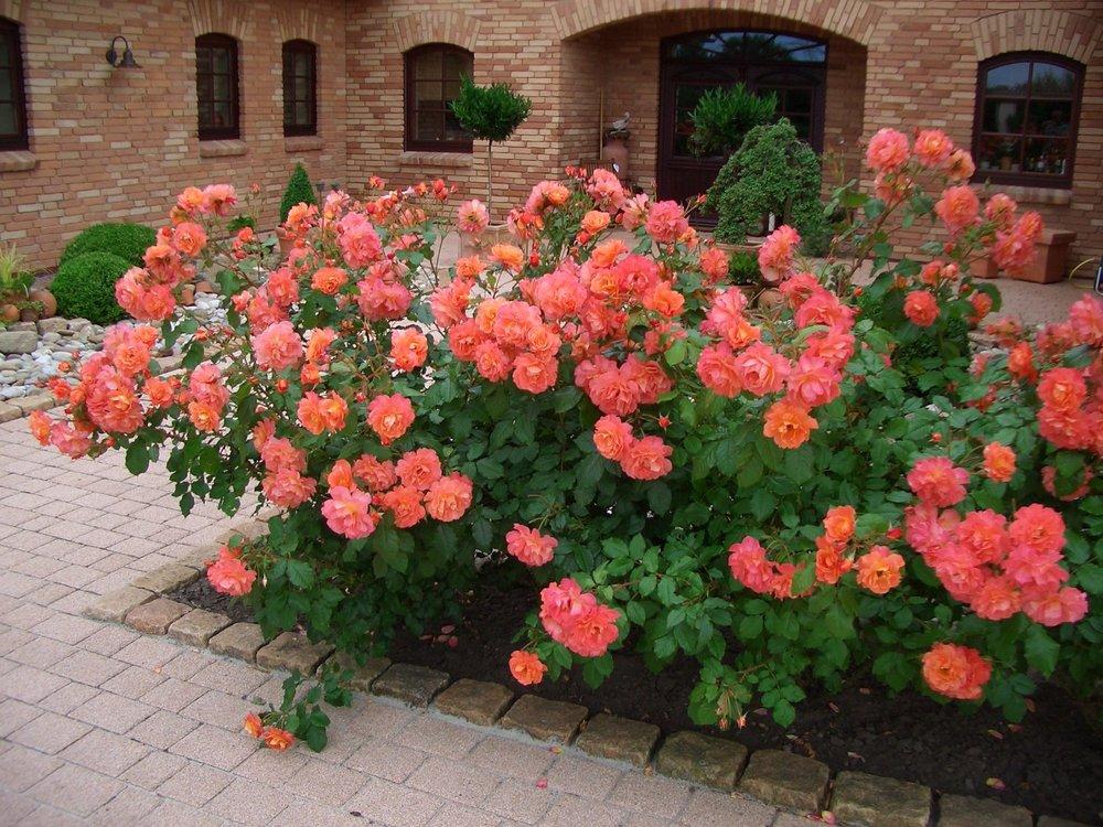 Плетистая роза Westerland(СОБИРАЕМ 2Й РЯД)