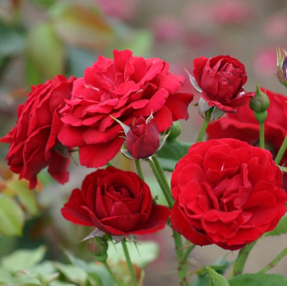 роза флорибунда Nina Weibul(3 шт свободно)