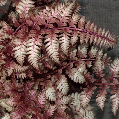 Папоротник niponicum Ursulas Red