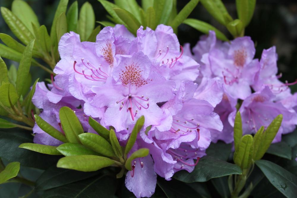 Rhododendron Catawb. Grandiflorum/рододендрон
